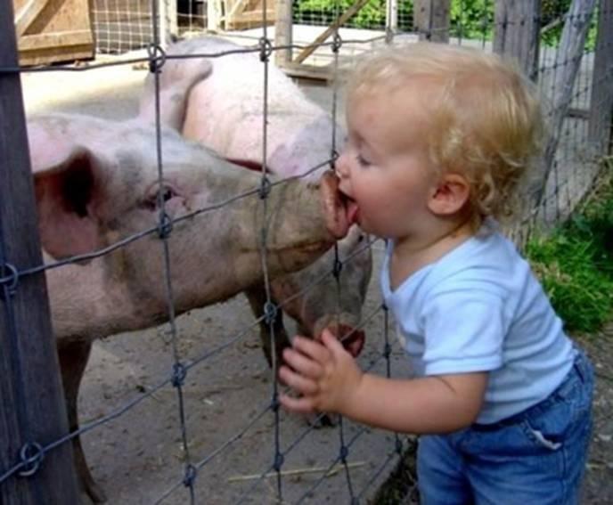 Pig Flu   This Years Pandemic?